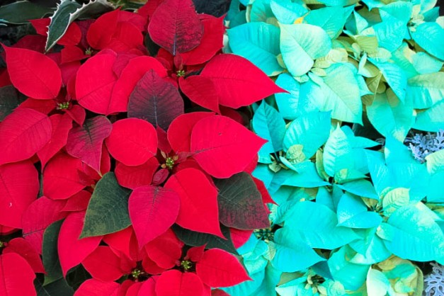 Happy Poinsettia Day!