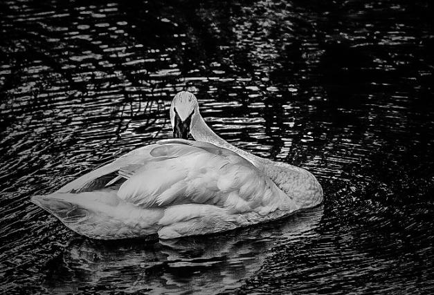 Swan ~