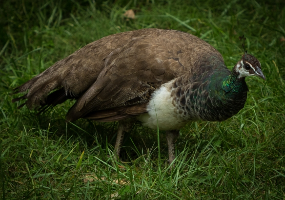 Peacock/Peahen Symbolism ~ | Maverick Mist