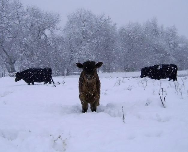 snowcalf