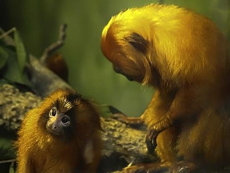 orangs-copy