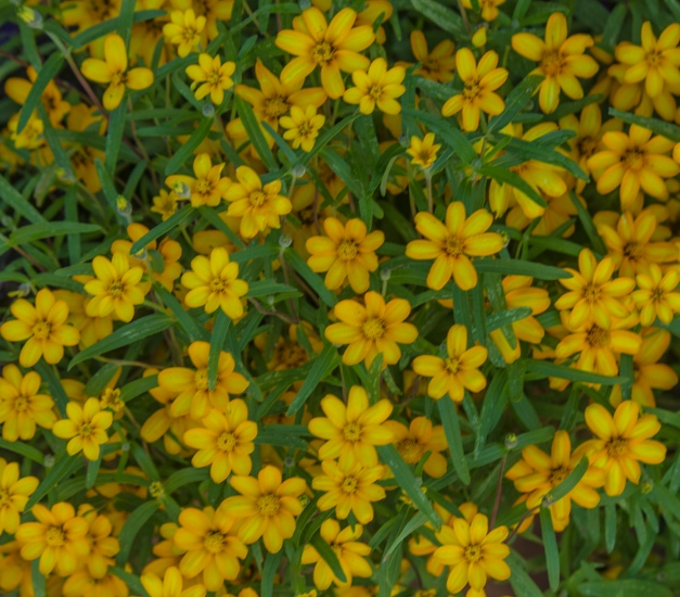 Yellow Flowers Maverick Mist